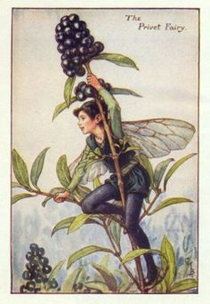 Privet Flower Fairy Print c.1927 Fairies by Cicely Mary Barker