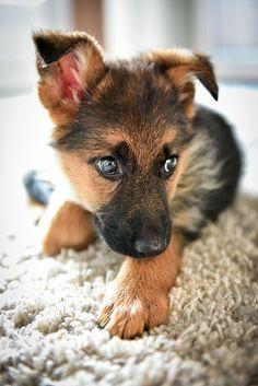 What's scaring you little German Shepherd?