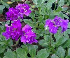 Aubrieta 'Blue Beauty', Brassicaceae plants for sale, Urban Jungle. Blue Plants, Southern Europe, Blue Flowers, Evergreen, Perennials, Asia, Vibrant, Walls, Spring