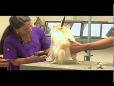 Super Styling Session Pomeranian Lion Cut Grooming Tips by Sue & Jay. Great tip for holding the rear leg when dealing with knee issues.