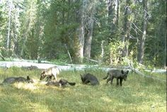 Wolves Are Officially Back in California | Mental Floss