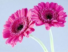 Quickly germinate bonsai flowers seeds 20 Gerbera Daisy (Gerbera Jamesonii Hybrids Mix) Garden Seeds -- Check out this great article. #GardenSupplies