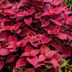 Easily grown from seeds Coleus is also called Flame Nettle, Painted Nettle or Painted Leaf, and Coleus Jazz Velvet is a very compact variety that features extra large, pink with a touch of green leaves. Flowering Shade Plants, Shade Garden Plants, House Plants, Colorful Plants, Colorful Flowers, Pink Flowers, Garden Lighting Diy, Plant Zones, Garden Nursery