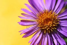 1566739-a-close-up-of-a-bright-purple-flower-with-a-yellow-background.jpg (1200×801)