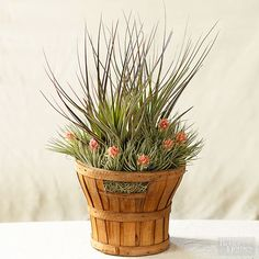 A wooden harvest basket makes a dramatic living bouquet when filled with spiky, tall Tillandsia fasciulatahemmed by a necklace of T. 'Houston' (T. stricta x recurvifolia)./