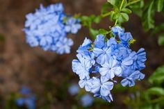 Plumbago Larpentiae blooms from June -Sept Cat Safe Plants, All Plants, Patio Plants, Garden Plants, Dog Friendly Plants, Blue Plumbago, Plants Grown In Water, Phlox Flowers, Fast Growing Plants