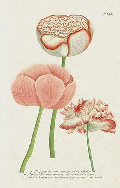 Botanicals: The taste of Petrol and Porcelain | Interior design, Vintage Sets and Unique Pieces www.petrolandporcelain.com Johann Weinmann Peony, Poppy & Rose Prints 1739