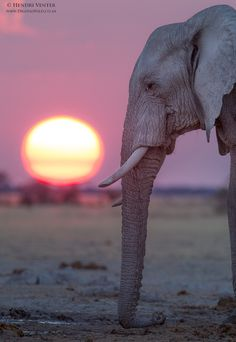Seismic communication--With the sun setting in the background an African Elephant lays its trunk on the ground to detect vibrations in the earth. by Hendri Venter on 500px