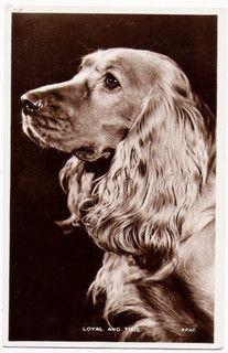 Dog English Cocker Spaniel Real Photo 1930s m583 by postcardcity, via Flickr