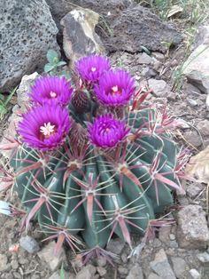 Devil's tongue cactus in bloom