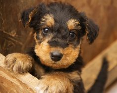 Airedale Terrier puppy-I loveeeee Airedales! Best dogs ever! Airedale Terrier, Pitbull Terrier, Welsh Terrier, Terrier Puppies, Bull Terriers, Pet Dogs, Dog Cat, Doggies, Cute Puppies