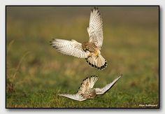 alain balthazard photographe animalier   ( marne)