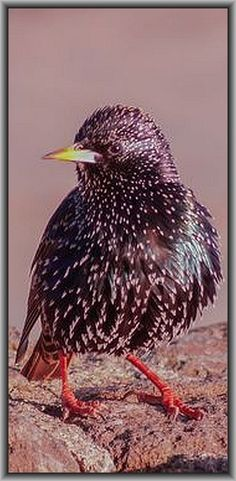 European Starling  at Golden Gate Bridge Vista point #bird #by Nikhil Prabhakar on 500px.com
