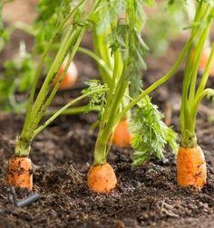 En Siendo Saludable te enseñamos cómo cultivar Zanahorias! Es una hortaliza con gran fuente de carotenos (que luego el cuerpo transforma en Vitamina A), y además riquísima! Se puede consumir en platillos salados o dulces. En la nota te contamos los mejores TIPS y los elementos indispensables para cultivarlas Click en la imagen! #cultivo #cultivarzanahorias #huertaencasa #huertaurbana #huertazanahorias