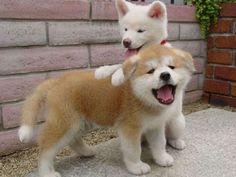 Two fluffy pups playing outside together.