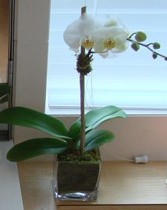 This is a white phalaenopsis orchid plant. See our entire selection at www.starflor.com. To purchase any of our floral selections, as gifts or décor, ...