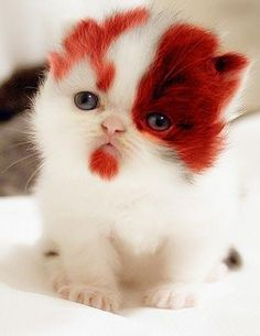 Oh my God, it's a red velvet kitten!!!!