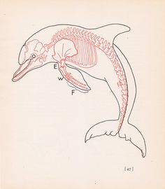 Vintage Dolphin Anatomy Print Skeleton Illustration Book Plate Color Animal