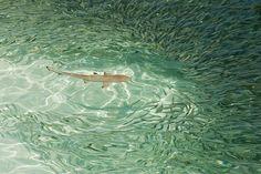 Sharks at Meeru Island Resort, the Maldives, photograph by Karl Robertson