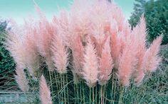 Pink Pampas Grass #gardening #grass #pink #outdoors