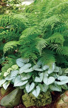 lovely pairing for the shade - Brighten up your shade garden with this lovely combo! -A lovely pairing for the shade - Brighten up your shade garden with this lovely combo! Plants, Beautiful Gardens, Shade Garden Plants, Ferns Garden, Woodland Garden, Urban Garden, Cottage Garden, Shade Plants, Shade Garden Design