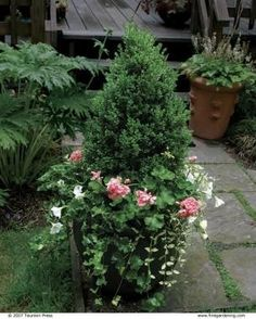 EVERGREEN CONTAINERS | 'GREEN MOUNTAIN' BOXWOOD | 10 Plants for Year-round Containers | Fine Gardening