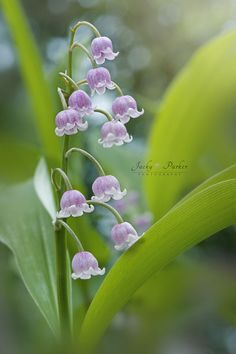 'Lily the Pink' Convallaria Majalis Rosea Types Of Flowers, Pink Flowers, Beautiful Flowers, Lily Of The Valley, Flowers Nature, Pretty Pictures, Trees To Plant, Mother Nature, Planting Flowers