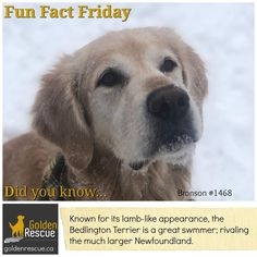 But how do they wear their swimming trunks? #FunFactFriday #goldenretriever #secondchance Friday Yay, Fun Fact Friday, English Mastiff Dog, Mastiff Dogs, Friday Facts, Tallest Dog, Happy Canada Day, Valentines Day Activities, Dog Years