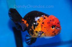 calico lionhead ranchu goldfish
