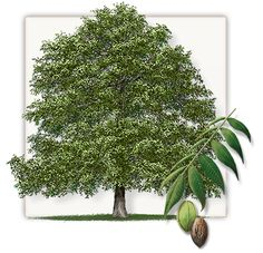 Pecan Tree | Mature Height: 60' to 80' | Fall Color: Yellow | Growth Rate: 1' to 2' Per Year #trees #landscaping #gardening