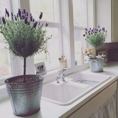 Learn how to grow your own lavender indoors. #containergardeninglavender