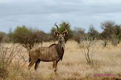 Kudu bull - magnificent