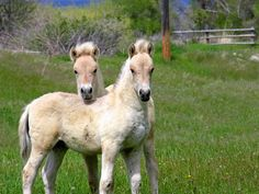 Norwegian Fjord Foals... For whatever reason, these were always my favorite breed when I was growing up.