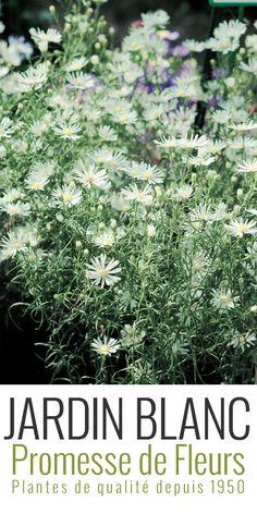 L'Aster pringlei Monte Cassino est une vivace en touffe qui offre d'août à novembre des grappes légères de 10 cm composées de petites fleurs blanches à cœur jaune en forme d'étoiles. Les hampes florales de cette reine de l'automne sont très résistantes au vent et à la pluie. http://www.promessedefleurs.com/vivaces/vivaces-par-variete/asters/aster-pringlei-monte-cassino-p-2645.html