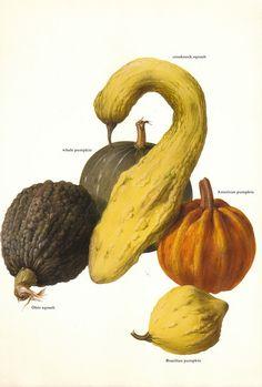 Vintage 1960s Pumpkin Squash Color Illustration Book Page.
