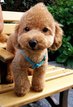 Toy poodle Teddy bear cut…. omg sooo cute! | Puppy Love ...