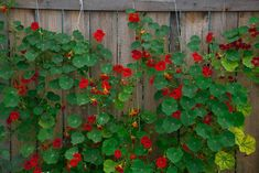 Get to know the different types of Nasturtium flowers according to growth, species, and hybrids so that you can grow the right type and make your garden pop with brilliant blooms. Cottage Garden Plants, Herb Garden, Garden Beds, Zinnias, Pansies, Love Flowers, Yellow Flowers, Black Eyed Susan, Edible Flowers