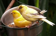 Birds – Page 2 – Bloedel Conservatory Canary Birds, Serin, Finches, Bird Cages, Bird Houses, Hawaiian, Singers, Tattoo, Image