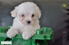 Mal-chon Puppy for Sale in Indiana http://www.buckeyepuppies.com/puppy-for-sale/mal-chon/wyatt