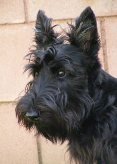 The perfect Scottie look. Yorky Terrier, Bull Terriers, I Love Dogs, Cute Dogs, Animals And Pets, Cute Animals, Dog Photos, Beautiful Dogs, Dogs And Puppies