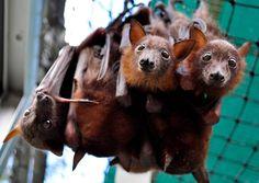 Hanging Out young flying fox bats rehab at Tolga hospital australia