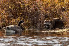 """I told you to scram! by Bill Lindsay   Flickr """"Canada Goose protects nest from curious raccoon."""""""