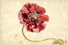 A variety of poppy by Jan van Huysum