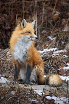Red Fox Sarah Furchner Photography