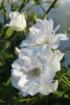 White roses blooming in the Center for Desert Living Trail.