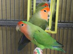 Name: Bonnie and Clyde ID: A413234 & A413235 Age:  2 – 3 Years Gender: Male & Female (?) Breed: Lovebirds   Description: Bonnie and Clyde are a bonded pair of lovebirds ready for a forever home. These beauties were surrendered to the shelter because their person did not have time to give them proper care. Add some happy Lovebird energy to your home and opt to adopt!