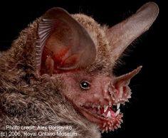 The vampire bat.