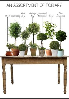 Houseplants That Filter the Air We Breathe Myrtle Topiaries - Friday Favorites - Petite Haus Topiary Plants, Topiary Garden, Boxwood Topiary, Topiary Trees, Garden Pots, Topiary Decor, Topiary Centerpieces, Outdoor Topiary, Container Plants