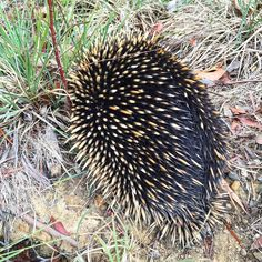Местный ёжик никогда бы не подумала что они очень быстро двигаются #echidna #fauna #nature #australia #anglesea by anna_chugaeva http://ift.tt/1KosRIg