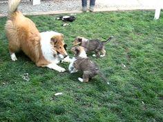 Rough Collie Puppies